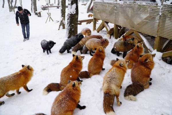 đàn cáo sống ở ngôi làng Zao nổi tiếng hn