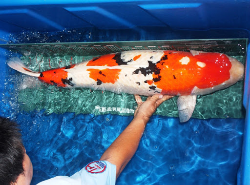 Cá Koi- lninh vật của Nhật Bản h