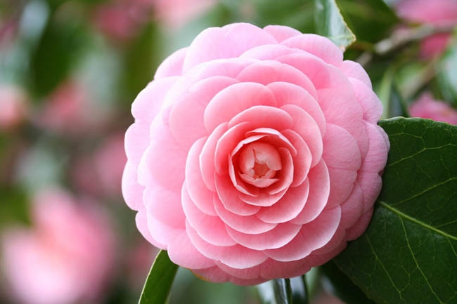 Loài hoa Tsubaki với vẻ đẹp giản đơn ý nghĩa hn